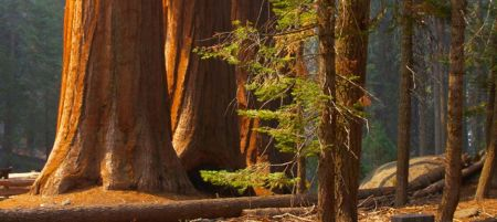 redwoods off Crescent City - 199 Hwy